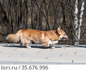 Red Welsh Corgi cardigan dog on a walk. Стоковое фото, фотограф Володина Ольга / Фотобанк Лори