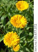 Желтая календула, или ноготки (лат. Calendula officinalis) цветет в летнем саду. Стоковое фото, фотограф Елена Коромыслова / Фотобанк Лори