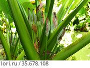Taro or kalo (Colocasia esculenta) is a perennial herb native to ... Стоковое фото, фотограф J M Barres / age Fotostock / Фотобанк Лори