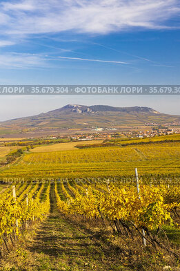 Vineyards near Dolni Dunajovice in Palava region, Southern Moravia...
