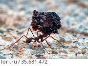 Leaf cutter ant. Стоковое фото, фотограф Julio Rivalta / Фотобанк Лори