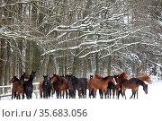 Graditz stud farm, horses standing in winter on a snow covered paddock. Редакционное фото, агентство Caro Photoagency / Фотобанк Лори