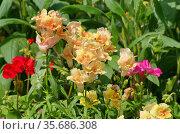 Антирринум крупноцветковый (лат. Antirrhinum) цветет на клумбе в летнем саду. Стоковое фото, фотограф Елена Коромыслова / Фотобанк Лори