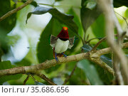 King Bird of Paradise (Cicinnurus regius) male performing dancing display, Papua New Guinea. Стоковое фото, фотограф Tim Laman / Nature Picture Library / Фотобанк Лори