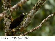 Short-tailed Paradigalla (Paradigalla brevicauda) perched in tree, Papua New Guinea. Стоковое фото, фотограф Tim Laman / Nature Picture Library / Фотобанк Лори