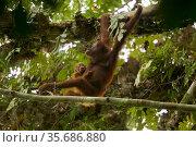 Bornean orangutan (Pongo pygmaeus) female with baby climbing through a strangler fig tree (Ficus stricta), Gunung Palung National Park, Borneo. Стоковое фото, фотограф Tim  Laman / Nature Picture Library / Фотобанк Лори