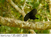 Superb Bird of Paradise (Lophorina superba) male at a display branch, displaying with cape raised, trying to lure down female, while facing away from the camera, Papua New Guinea. Стоковое фото, фотограф Tim Laman / Nature Picture Library / Фотобанк Лори