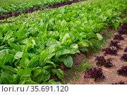 Swiss chard growing on plantation. Стоковое фото, фотограф Яков Филимонов / Фотобанк Лори