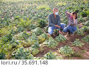 Man and woman in protective mask frustrated by loss of cabbage harvest after drought on field. Стоковое фото, фотограф Яков Филимонов / Фотобанк Лори