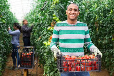 Latino farmer with box of ripe tomatoes in greenhouse