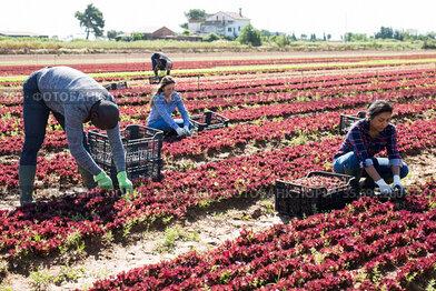 People working on red leaf lettuce plantation