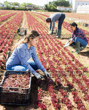 Colombian workwoman harvesting red lettuce