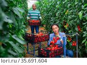Latin american couple of gardeners harvesting tomatoes in greenhouse. Стоковое фото, фотограф Яков Филимонов / Фотобанк Лори