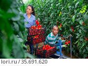 Hispanic horticulturists harvesting red tomatoes in greenhouse. Стоковое фото, фотограф Яков Филимонов / Фотобанк Лори