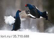 Two male Black grouse (Tetrao / Lyrurus tetrix) fighting at lek. Kuusamo, Finland, April. Стоковое фото, фотограф Markus Varesvuo / Nature Picture Library / Фотобанк Лори
