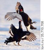 Two male Black grouse (Tetrao / Lyrurus tetrix) fighting at lek. Utajarvi... Стоковое фото, фотограф Markus Varesvuo / Nature Picture Library / Фотобанк Лори