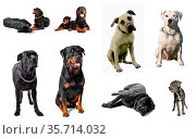 Composite picture with purebred guard dogs in a white background. Стоковое фото, фотограф Zoonar.com/emmanuelle bonzami / age Fotostock / Фотобанк Лори