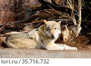 Европейский волк. Grey wolf. Стоковое фото, фотограф Галина Савина / Фотобанк Лори