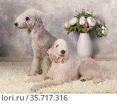 Two purebred Bedlington Terrier dog on a fur rug in the studio. Стоковое фото, фотограф Алексей Кузнецов / Фотобанк Лори