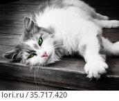 Серо-белая кошка с яркими зелеными глазами лежит на деревянном полу. Стоковое фото, фотограф E. O. / Фотобанк Лори