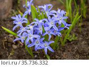 Цветок Хионодокса (Chionodoxa) первоцвет. Стоковое фото, фотограф Галина Савина / Фотобанк Лори