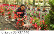 Positive Latina female worker examining begonia seedlings while gardening in greenhouse. Стоковое видео, видеограф Яков Филимонов / Фотобанк Лори