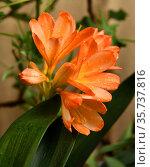 Clivia miniata, Natal lily or bush lily, species of flowering plant in genus Clivia of family Amaryllidaceae. Стоковое фото, фотограф Валерия Попова / Фотобанк Лори