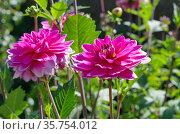 Ярко-розовые георгины (лат. Dаhlia) цветут в саду. Стоковое фото, фотограф Елена Коромыслова / Фотобанк Лори