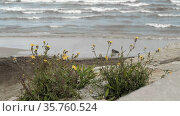 Sea shore with yellow flowers growing among the stones. Стоковое видео, видеограф Данил Руденко / Фотобанк Лори
