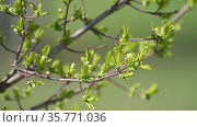 Branch of a tree with young leaves in early spring. Стоковое видео, видеограф Володина Ольга / Фотобанк Лори