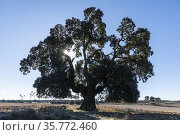 Centennial Holm oak (Quercus ilex). Los Pozuelos. Almansa. albacete. Стоковое фото, фотограф Antonio Real / age Fotostock / Фотобанк Лори
