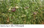 Closeup of purple organic tomatoes ripening on bushes in greenhouse. Cultivation of industrial vegetable varieties. Стоковое видео, видеограф Яков Филимонов / Фотобанк Лори