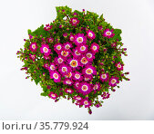 Top view of blooming mauve cineraria on white background. Стоковое фото, фотограф Яков Филимонов / Фотобанк Лори