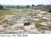 White rhinocerous (Ceratotherium simum) Kruger National Park, Mpumalanga Province, South Africa. Стоковое фото, фотограф Richard Du Toit / Nature Picture Library / Фотобанк Лори