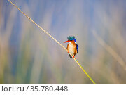 Malachite kingfisher (Alcedo cristata) perched, Western Cape Province, South Africa. Стоковое фото, фотограф Richard Du Toit / Nature Picture Library / Фотобанк Лори