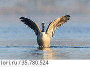 Canada goose (Branta canadensis) flapping its wings, London, UK, February. Стоковое фото, фотограф Oscar Dewhurst / Nature Picture Library / Фотобанк Лори