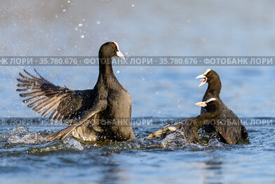 Eurasian coots (Fulica atra) territorial fight in water, London, UK, April