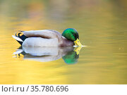 Mallard (Anas platyrhynchos) male swimming with autumn colours reflected in the water, London, UK, November. Стоковое фото, фотограф Oscar Dewhurst / Nature Picture Library / Фотобанк Лори