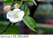 Красивый цветок яблони крупным планом. Стоковое фото, фотограф Светлана Шимкович / Фотобанк Лори