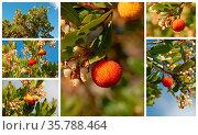 Arbousier, tree in the south of France (Arbustus unedo) Стоковое фото, фотограф Zoonar.com/emmanuelle bonzami / age Fotostock / Фотобанк Лори