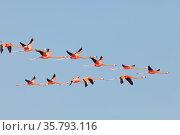 Caribbean flamingos (Phoenicopterus ruber) flying, Ria Celestun Biosphere Reserve, Yucatan Peninsula, Mexico, January. Стоковое фото, фотограф Claudio Contreras / Nature Picture Library / Фотобанк Лори