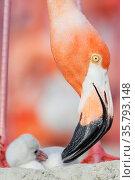 Caribbean flamingo (Phoenicopterus ruber) preening chick in the breeding colony, Ria Lagartos Biosphere Reserve, Yucatan Peninsula, Mexico, June. Стоковое фото, фотограф Claudio Contreras / Nature Picture Library / Фотобанк Лори