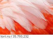 Caribbean flamingo (Phoenicopterus ruber) feather, Ria Lagartos Biosphere Reserve, Yucatan Peninsula, Mexico, June. Стоковое фото, фотограф Claudio Contreras / Nature Picture Library / Фотобанк Лори