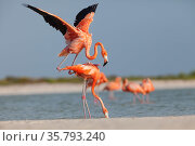 Caribbean flamingos s (Phoenicopterus ruber) pair about to mate, male jumping on top of female, Ria Lagartos Biosphere Reserve, Yucatan Peninsula, Mexico, May. Стоковое фото, фотограф Claudio Contreras / Nature Picture Library / Фотобанк Лори