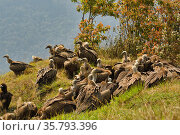 Himalayan griffon vulture (Gyps himalayensis) flock, south of Annapurna mountains, Nepal. Стоковое фото, фотограф Dave Watts / Nature Picture Library / Фотобанк Лори