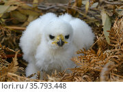 Grey / White goshawk (Accipiter novaehollandiae) Young chick, Tasmania, Australia. Стоковое фото, фотограф Dave Watts / Nature Picture Library / Фотобанк Лори