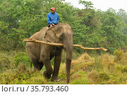 Asiatic elephant (Elephas maximus) with mahout. Carrying timber from buffer zone of Chitwan National Park, Nepal March 2019. Стоковое фото, фотограф Dave Watts / Nature Picture Library / Фотобанк Лори