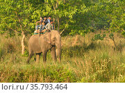 Asiatic elephant (Elephas maximus) carrying tourists, Chitwan National Park, Nepal March 2019. Стоковое фото, фотограф Dave Watts / Nature Picture Library / Фотобанк Лори