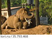 Domestic Asiatic elephant (Elephas maximus) chained in government... Редакционное фото, фотограф Dave Watts / Nature Picture Library / Фотобанк Лори