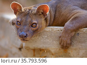 Fossa (Cryptoprocta ferox) resting, Kirindy Forest Private Reserve... Стоковое фото, фотограф Lorraine Bennery / Nature Picture Library / Фотобанк Лори